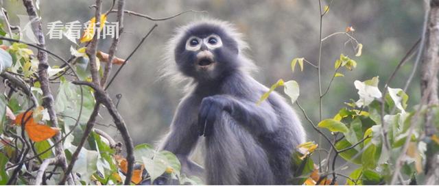 """缅甸发现濒危新物种""""波巴叶猴"""" 白眼圈长尾巴 全球仅剩250只"""