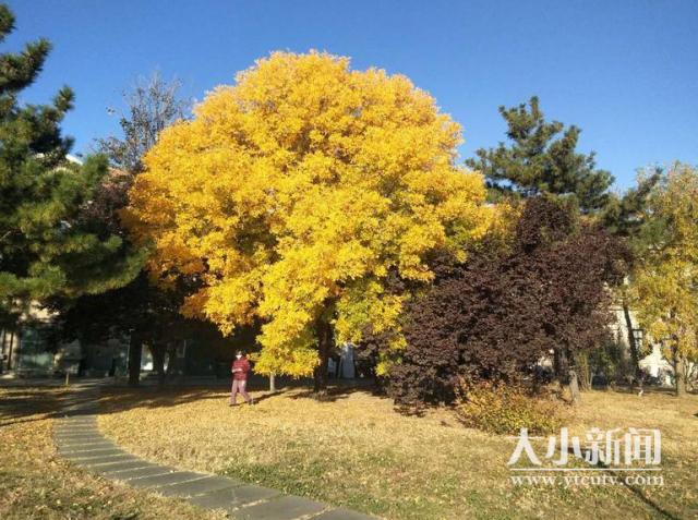 缓扫落叶:烟台滨海广场设置秋季落叶景观区