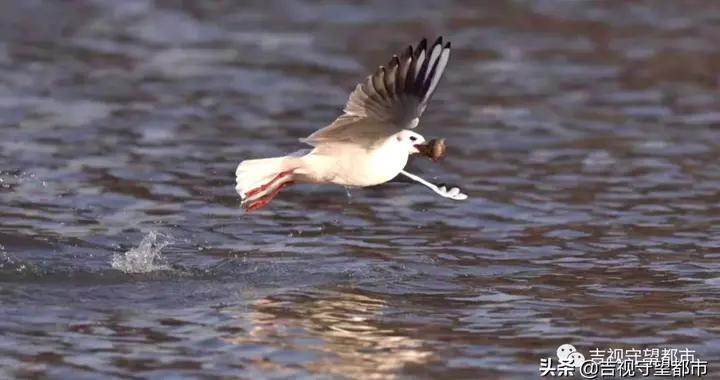 伊通河畔现成群红嘴鸥,群鸥逐浪场面壮观