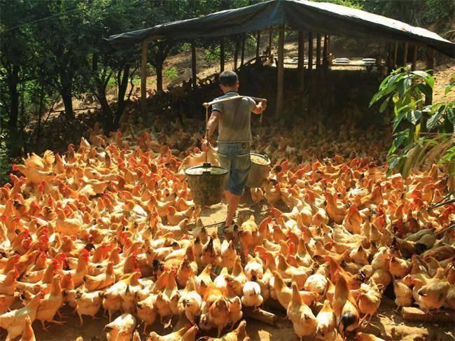 特色三黄鸡养殖助岑溪市农民脱贫致富
