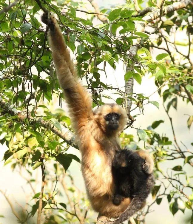 云南启动濒危物种西黑冠长臂猿种群数量调查