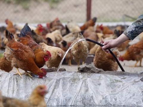 毛鸡突破4元,鸡蛋却跌近3元,存栏量仍较多,年底能反弹吗