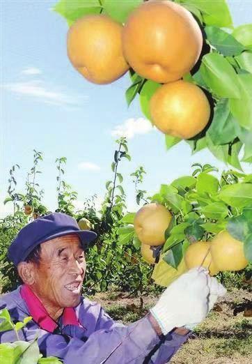敖东村的金果梨(图)──天津武清区石各庄镇敖东村发展智慧农业带领村民发家致富