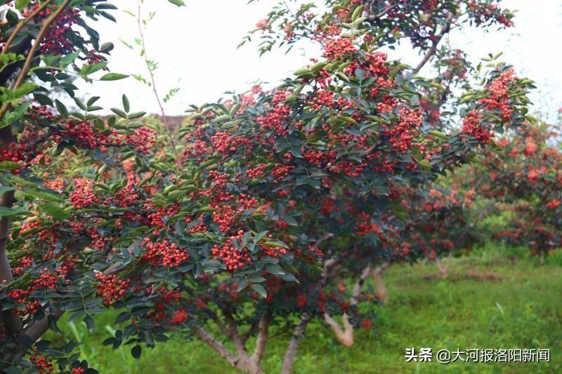 宜阳县全县花椒面积已达到13万亩