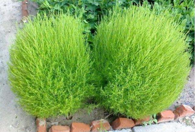 世界上最委屈的植物,曾被中国做成扫把,网友称:在日本它是宝贝