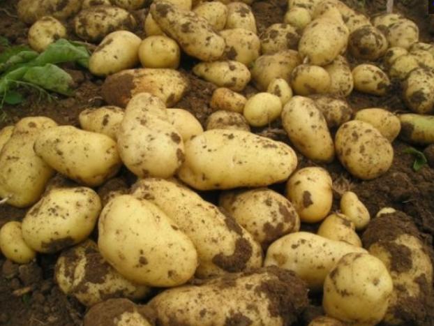 农民挖土豆挖到个宝贝,形似牛头,最后被人以1000元的天价收购