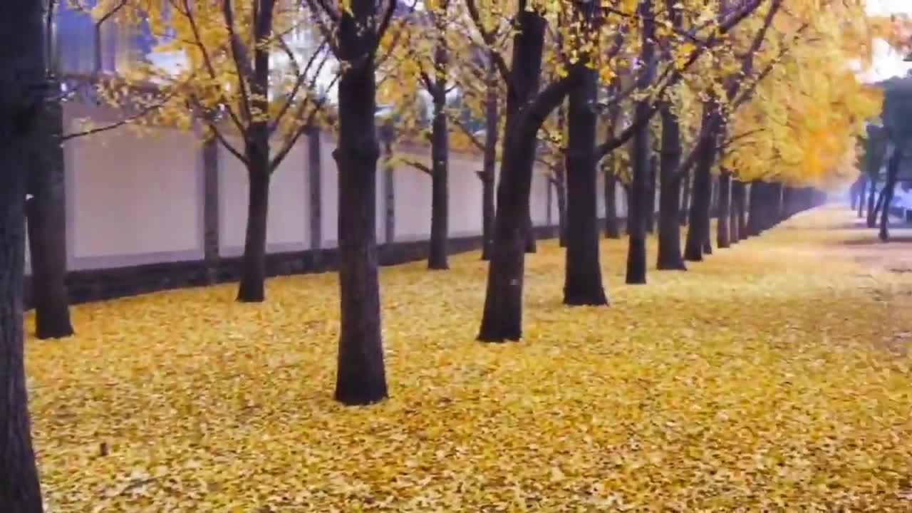 冬雨中的钓鱼台银杏大道,满地尽披黄金甲!