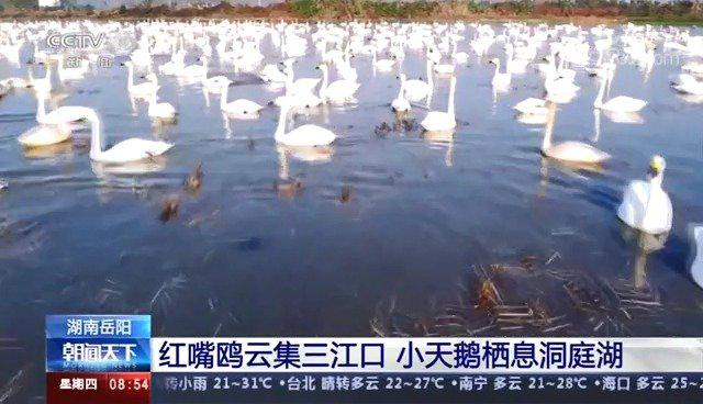 红嘴鸥云集三江口,小天鹅栖息洞庭湖