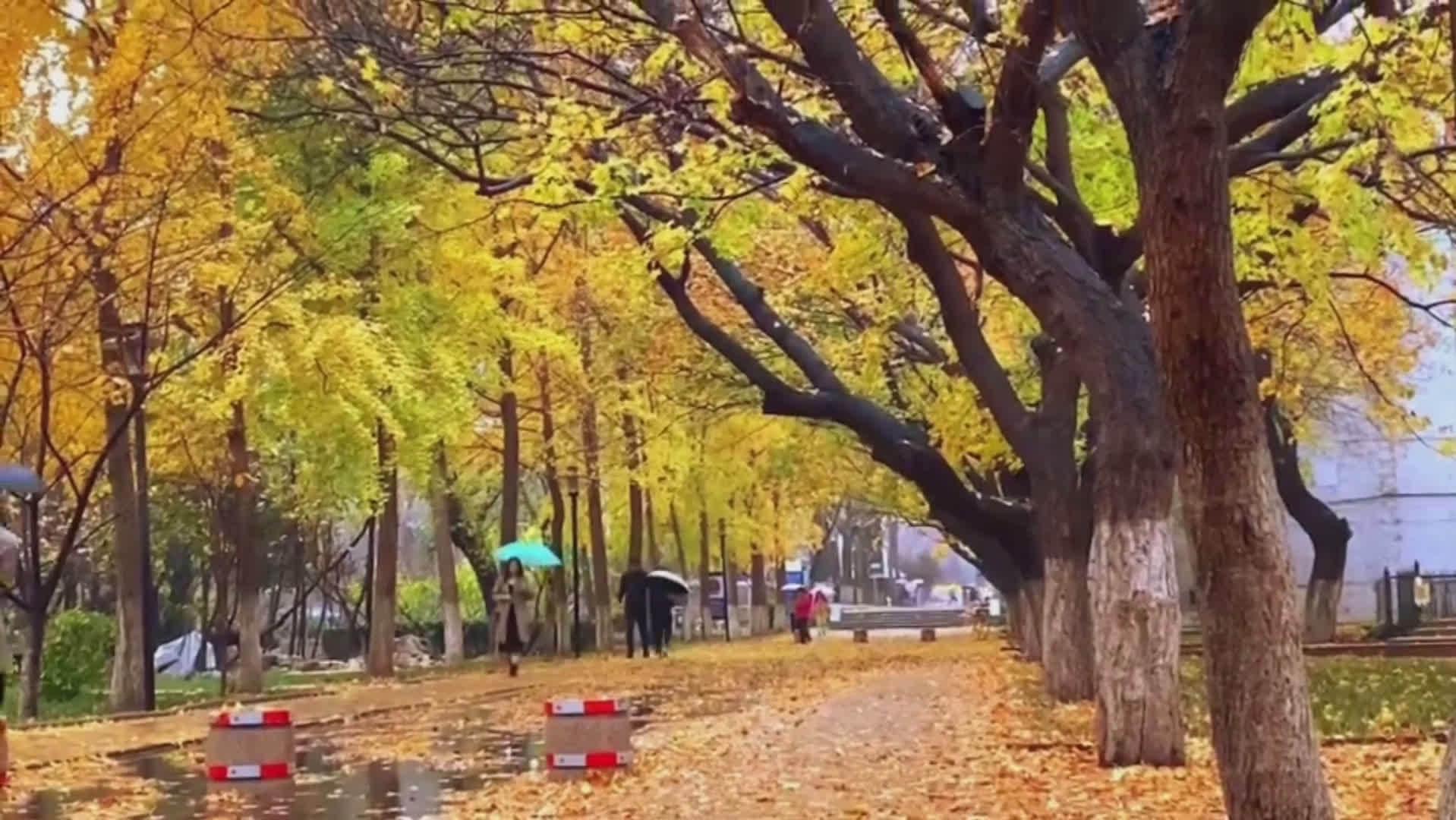 山东师范大学校区内落叶如毯,大面积的红枫和银杏集中落叶…………