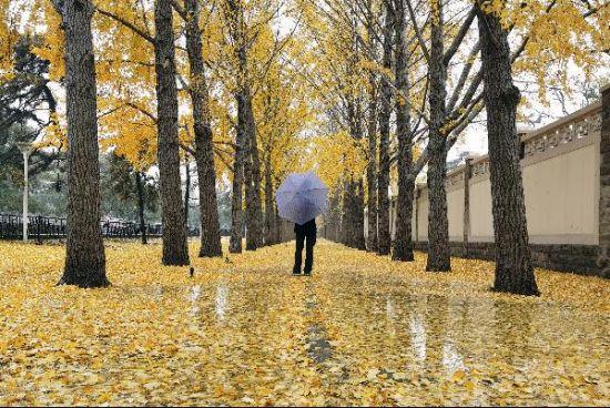 北京遭遇降雨降温天气 市民雨中在银杏大道赏景