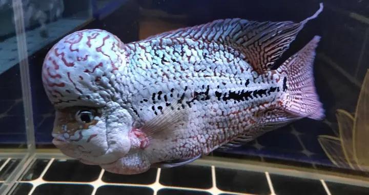 不是鱼缸放了硝化细菌以后,再去讨论何时放鱼,操作完全反了