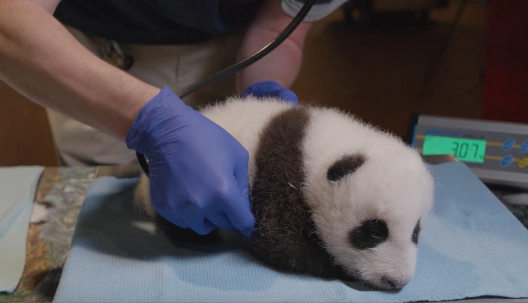 """美国动物园解释喂大熊猫吃""""冰坨子""""图片"""