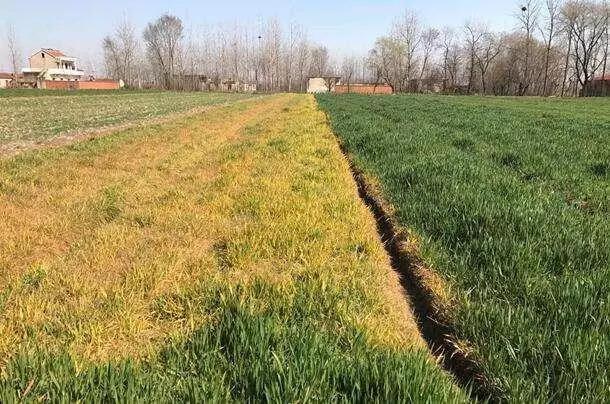 注意:小麦出现这些症状时,先别打除草剂!