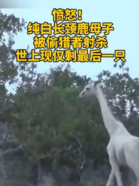愤怒又悲伤!纯白长颈鹿母子被偷猎者射杀!世上现仅剩最后一只!……