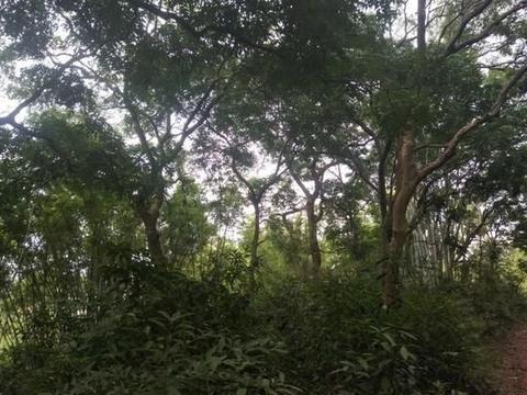 重点保护!容县河儿村有一组高龄格木树群