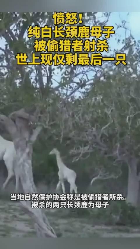 愤怒又悲伤!纯白长颈鹿母子被偷猎者射杀!世上现仅剩最后一只