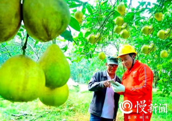 用电有保障果农笑开颜,有人10万元卖出40棵柚子果