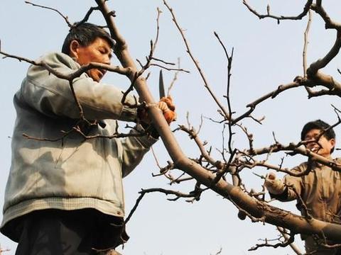 如何判断果树是否真的进入了休眠期?