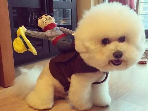 同样是小型犬,为什么喜欢比熊犬的人要比博美犬多?原因有几个!