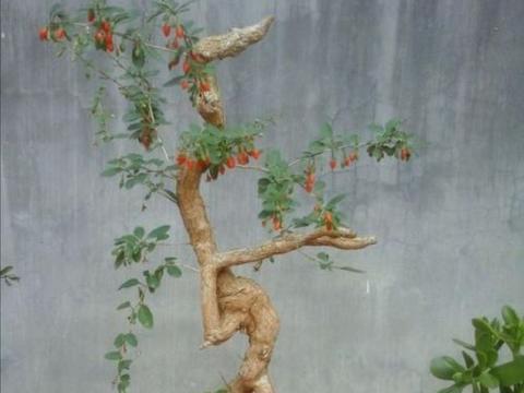 野外枸杞树,根部造型奇特,苍劲古朴,做盆景观赏性强