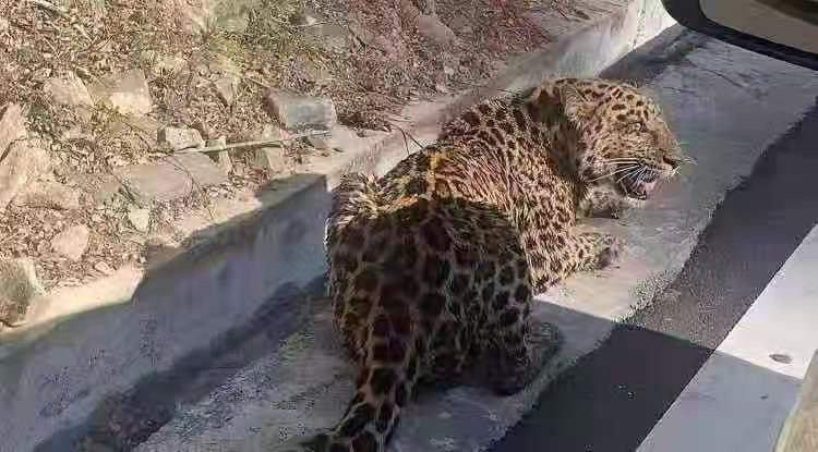 """""""豹""""款!道孚县再次发现金钱豹"""