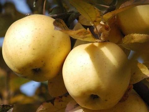 苹果树的病害问题分析,农人该如何防止这些严重病害?