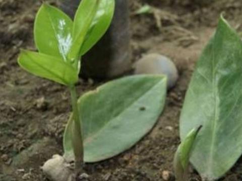 这6种花不用买,叶子插土里就生根,长出小株苗