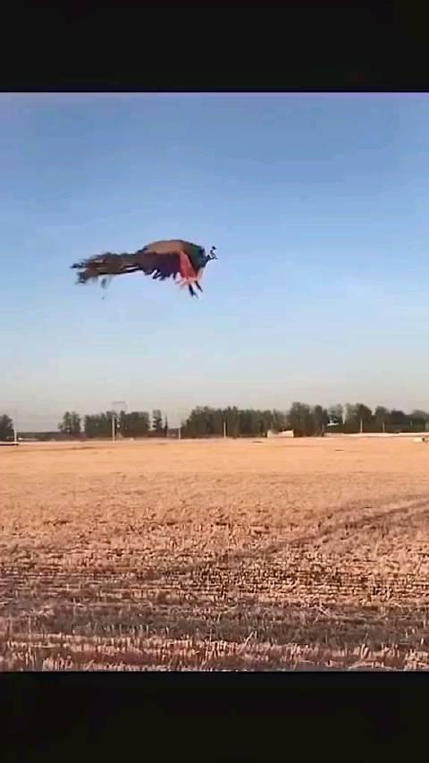 见过孔雀飞翔嘛,孔雀一飞如凤凰,凤凰于飞…………