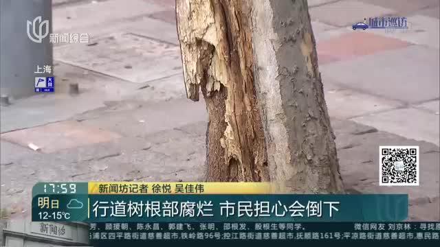 行道树根部腐烂  市民担心会倒下