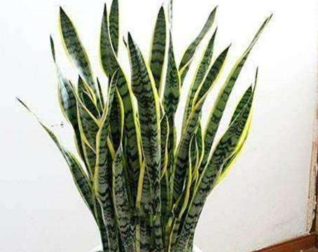虎皮兰半死不活不生长,掌握几点,叶片肥厚硬挺,长满小侧芽