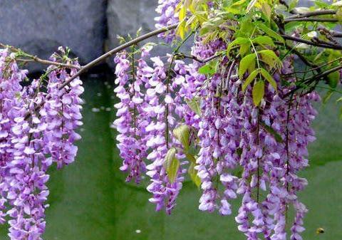 有个小阳台不要错过4种花,春天猛长新叶和花苞,邻居看了都羡慕