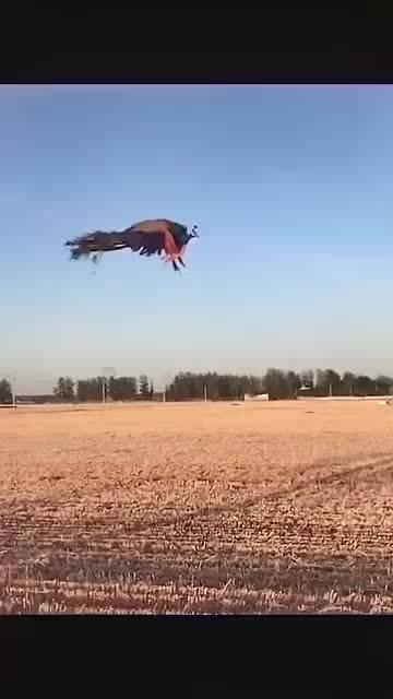 见过孔雀飞翔嘛,孔雀一飞如凤凰,凤凰于飞,点赞的人都吉祥永恒