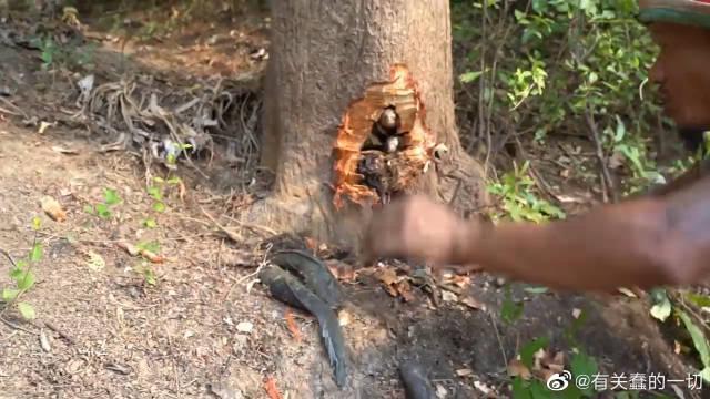 男子发现大树根部往外渗水,用斧子将其砍开,靠近一看高兴坏了