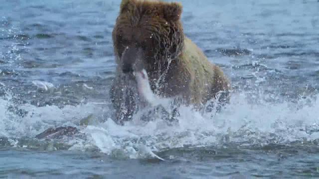 水中全是大马哈鱼,棕熊都抓不过来吃一口又下水继续捕捉