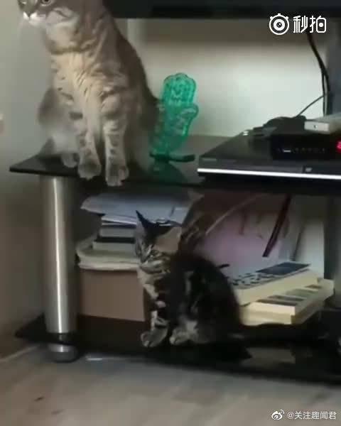 猫爸爸在桌子上,小猫在下面碰了它爪子一下,结果被吓飞了....