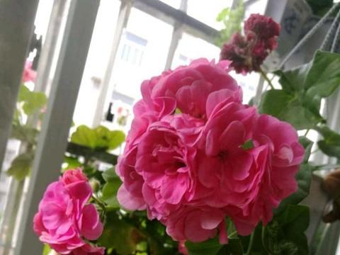 养天竺葵,就选这11种,开花特漂亮,养在阳台人见人夸