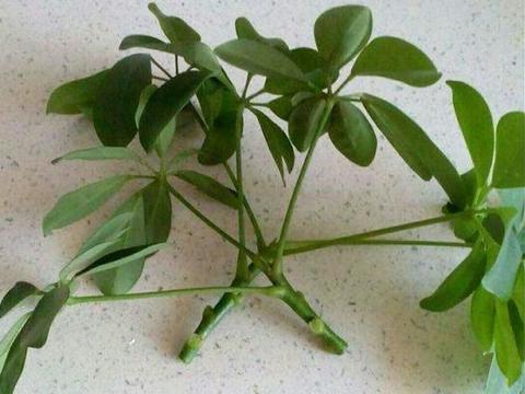 春季怎样才能繁殖出更多的鸭掌木盆栽