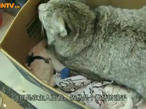 小猞猁看见猫咪,以为是主人送给自己的娃娃,抱着就亲