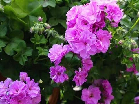 """家有阳台就养""""垂吊天竺葵"""",花朵像玫瑰一样精致,四季常开"""