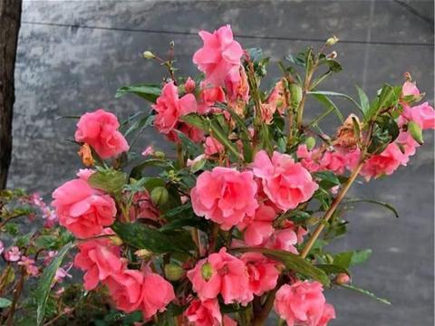 婆婆院里种的花,这是啥神仙颜值,太漂亮了
