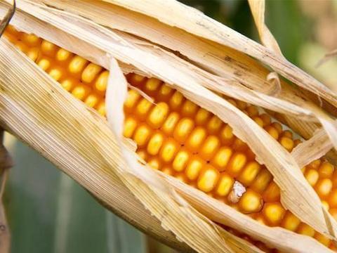 玉米价格又涨了,农民高兴,但一定要警惕,附:11月23日玉米价格