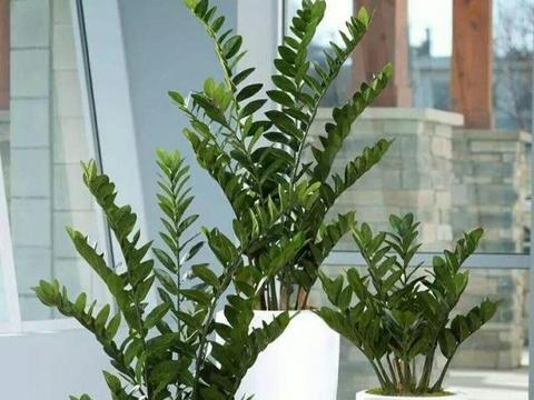 漂亮的大叶绿植,适合在空间较大的客厅摆放观赏