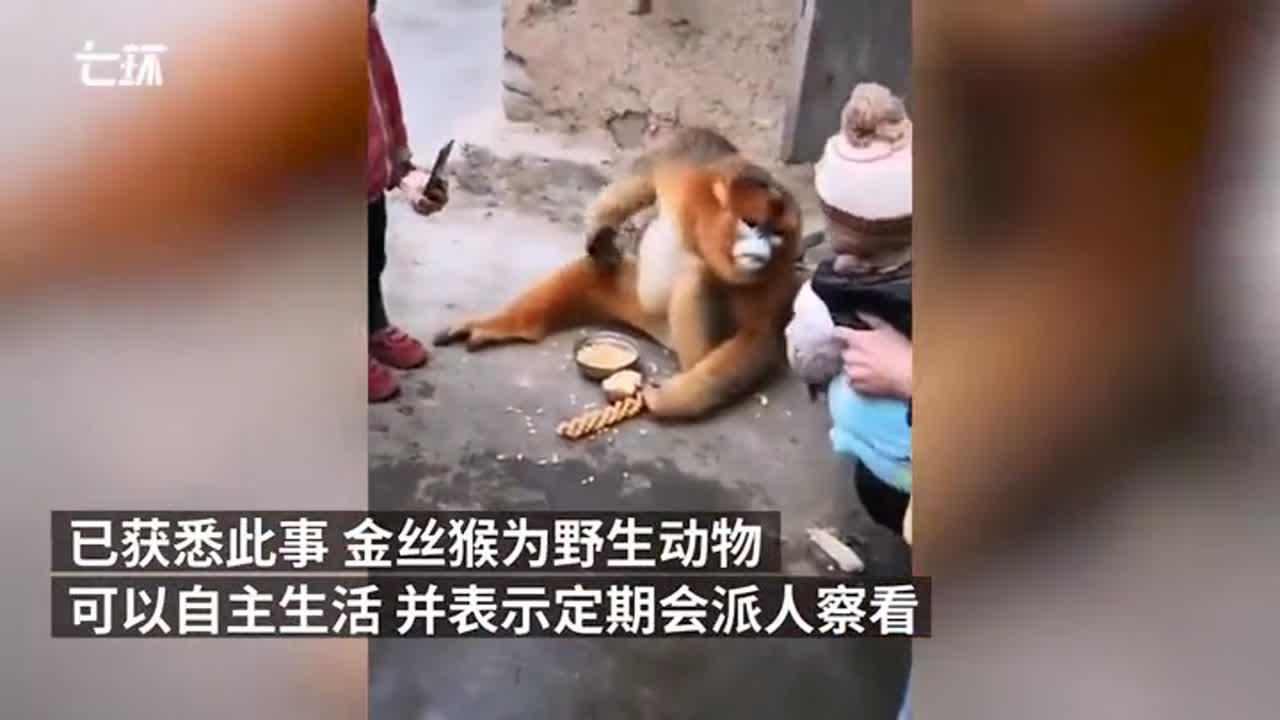 金丝猴在汉中村民家中住了一个月 林业局:定期派人察看