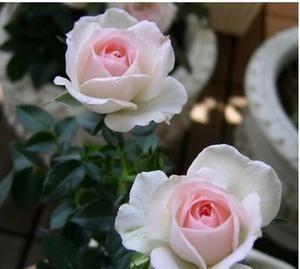此花,比玫瑰漂亮,比兰花好养,一年到头有花赏!