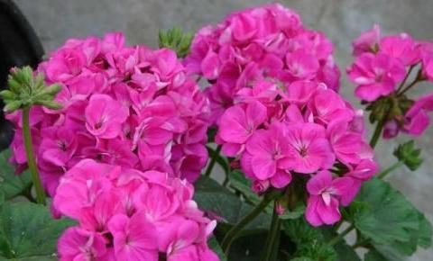 老花农养了3年天竺葵,春天多做三件事,阳台轻松变花园