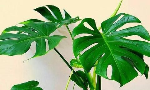 老花农养龟背竹,春天做好3件事,植株健壮,能长2米高!