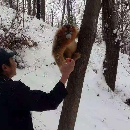 """""""大圣""""驾临,嘉陵江源头景区首次发现野生金丝猴"""