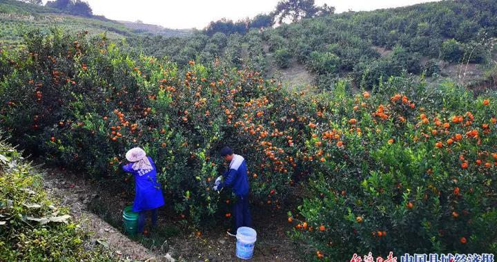 广西柳城:蜜桔特色产业助脱贫