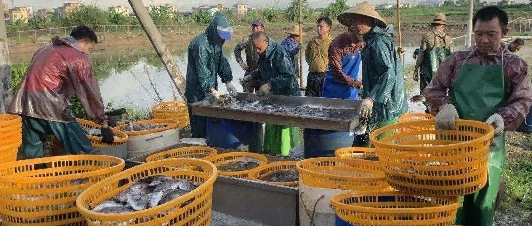 流通好转,鱼价止跌回升!鳜鱼、生鱼、江团涨0.2-0.5元/斤!加州鲈、黄颡鱼企稳!