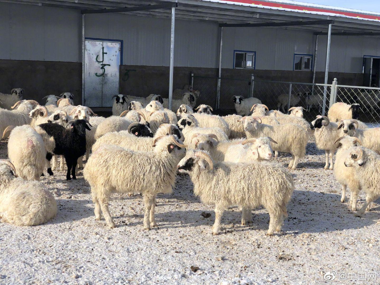 盐池滩羊脱贫致富好帮手党群联动促增收